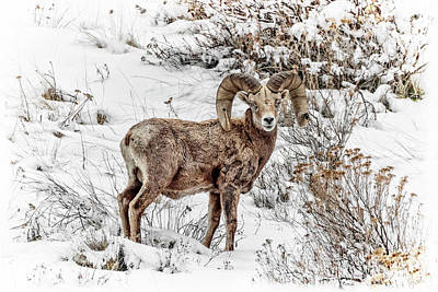 State Love Nancy Ingersoll - Bighorn Ram In Winter by Wes and Dotty Weber