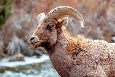 Photograph - Bighorn Sheep Along The Platte River by Steve Krull