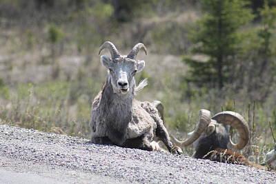 Wall Art - Photograph - Bighorn Sheep by Don Small Jr