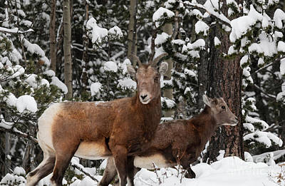 Steve Krull Royalty-Free and Rights-Managed Images - Bighorn Sheep in Deep Snow by Steve Krull