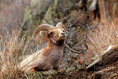 Photograph - Bighorn Sheep Portrait by Steve Krull