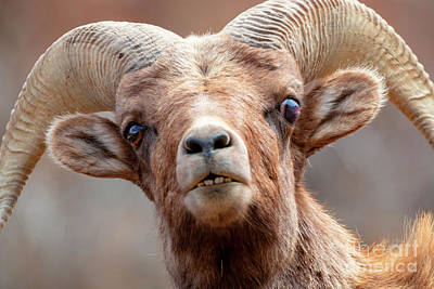 Photograph - Bighorn Sheep Ram Comical Expression by Steve Krull