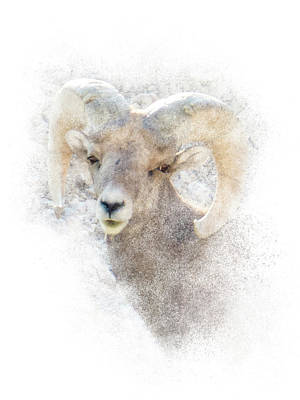 Photograph - Bighorn Sheep - Ram Portrait by Patti Deters