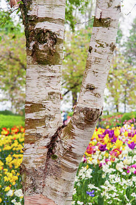 Photograph - Birch Tree And Colorful Spring Blooms. Keukenhof by Jenny Rainbow