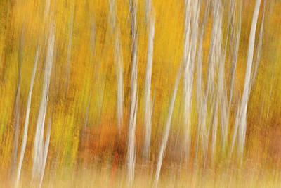 Photograph - Birch Tree Trunks And Maple Trees In by Don Johnston