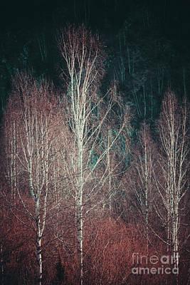 Photograph - Birch Trees by R Gazali