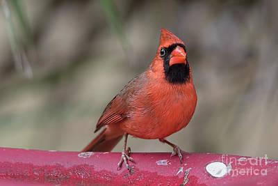 Photograph - Bird Bath Cardinal by Deborah Benoit