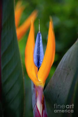 Photograph - Bird Of Paradise by Brian Jannsen