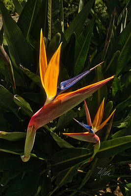 Photograph - Bird Of Paradise by Meta Gatschenberger