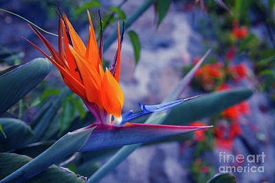 Photograph - Bird Of Paradise by Sharon Mau