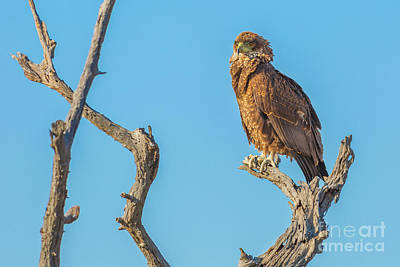 Photograph - bird of prey Steppe Buzzard by Benny Marty