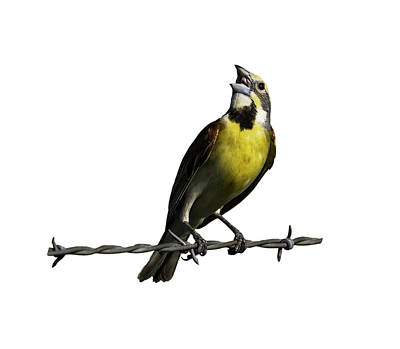 Beer Blueprints - Bird on Wire Dickcissel by Jeff Phillippi