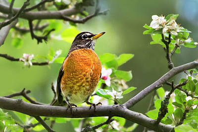 Birds - American Robin - Nature's Alarm Clock Art Print