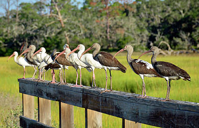 Photograph - Birds In A Row by Bruce Gourley