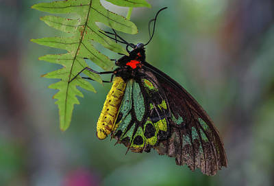 Photograph - Birdwing Butterfly by Juergen Roth