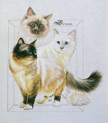 Drawing - Docile Birman by Barbara Keith