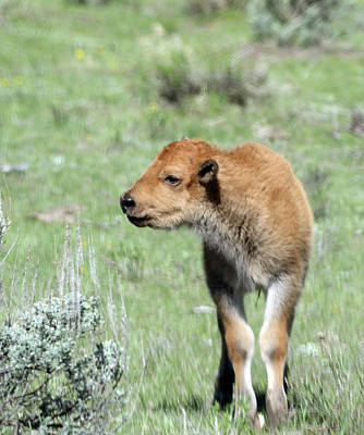 Photograph - Bison Calf In Lamar Valley by Jean Clark