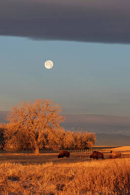 Photograph - Bison Graze At First Light Under A Setting Moon by Tony Hake
