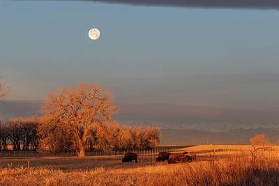 Photograph - Bison Graze Under A Setting Full Moon by Tony Hake
