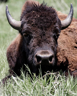 Photograph - Bison in Custer State Park South Dakota by Art Whitton
