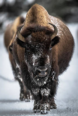 Photograph - Bison in Line by Russell Cody