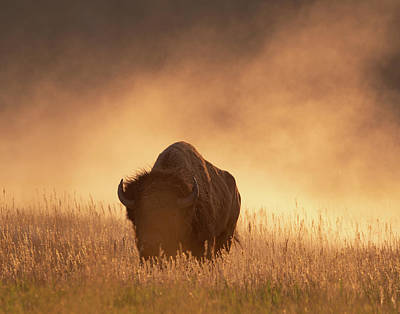 Photograph - Bison In The Dust 2 by Mary Hone