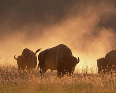 Photograph - Bison In The Dust by Mary Hone