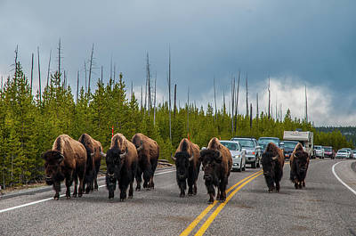 Photograph - Bison Jam by Matthew Irvin