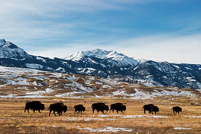 Photograph - Bison Migration by Mark Miller Photos