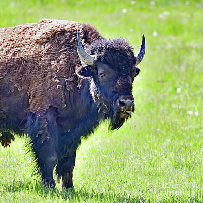 Photograph - Bison Shredding Skin by Bipul Haldar