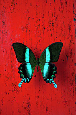 Photograph - Black And Blue Butterfly On Red Wall by Garry Gay