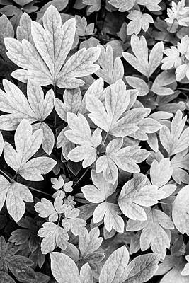 Photograph - Black And White Abstract Leaves by Christina Rollo