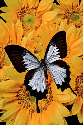 Photograph - Black And White Butterfly On Sunflowers by Garry Gay
