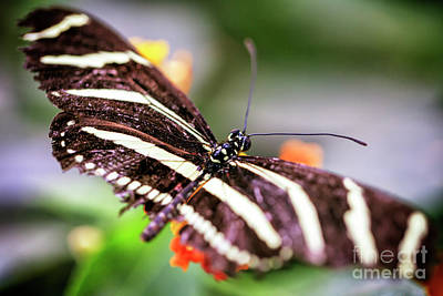 Photograph - Black And White Butterfly Wings by John Rizzuto
