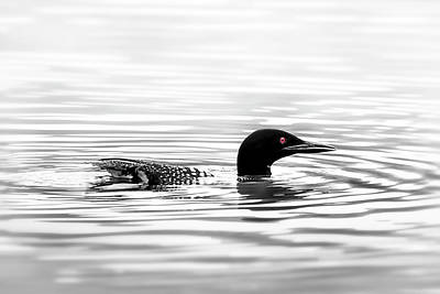 Photograph - Black And White Loon  by Christina Rollo