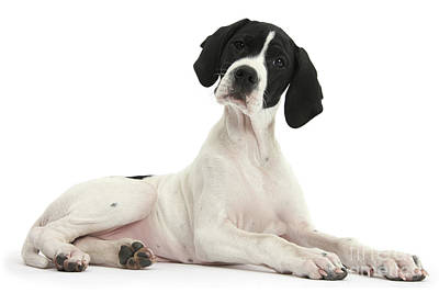 Photograph - Black-and-white Pointer Pup by Warren Photographic
