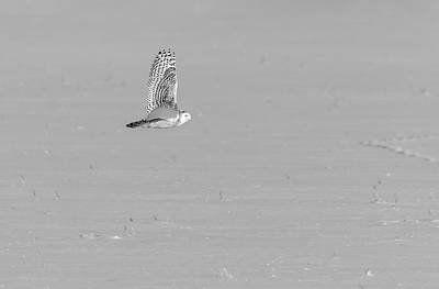 Photograph - Black And White Snowy Owl 2019-1 by Thomas Young
