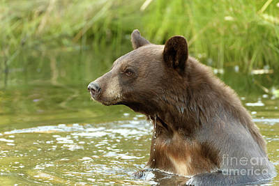Photograph - Black Bear  by Beve Brown-Clark Photography