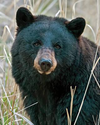Portraits Photos - Black Bear closeup by Gary Langley
