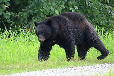 Photograph - Black Bear Crossing by Hagen Pflueger