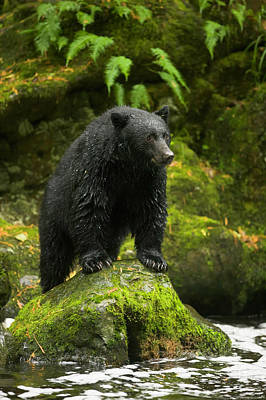 Photograph - Black Bear, Vancouver Island, Bc by Eastcott Momatiuk
