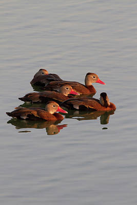 Animal Family Photograph - Black-bellied Whistling Duck by Danita Delimont