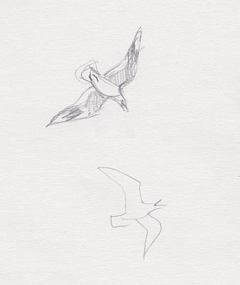 Drawing - Black-billed Gulls by Abby McBride