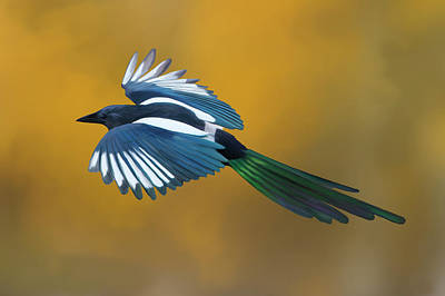 Digital Art - Black-billed Magpie Flying In Autumn Aspens by Mark Miller