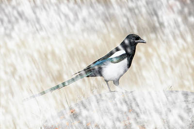Digital Art - Black-billed Magpie In Snow by Mark Miller