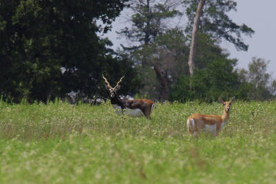 Photograph - Black Buck And Doe by Amanda Smith