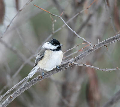 Photograph - Black Capped Chickadee by Dan Sproul