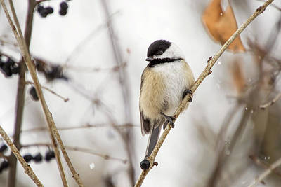 Photograph - Black Capped Chickadee In Falling Snow by Peggy Collins