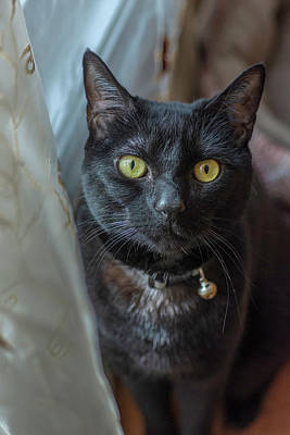 Photograph - Black Cat By Curtains by Keith Smith