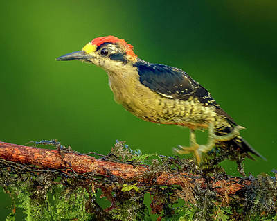 Bath Time Rights Managed Images - Black-cheeked Woodpecker -  Melanerpes pucherani Royalty-Free Image by Myer Bornstein